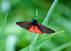 https://flic.kr/p/nZGoKU | Red and Black | This is a Cinnabar - a day flying moth