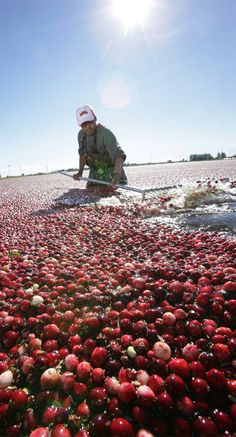 BC Cranberry Council  Photo by Kent Kallberg, Kent Kallberg Studios http://www.kallbergstudios.com/  Vancouver, BC, Canada #photography #photographer #Vancouverphotographer #Vancouver  #Waders #Cranberries