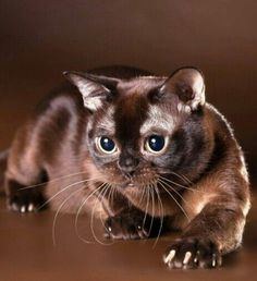 Exotic Shorthair, British Shorthair, Modern Cat Furniture, Cats And Kittens, Tabby Cats, Beautiful Cats, Catwoman, Beautiful Creatures, Cute Cats