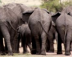 elephant butts of africa