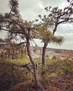Small pine tree growing in the harsh nordic environment. Sitkeästi kasvaa pikku mänty.