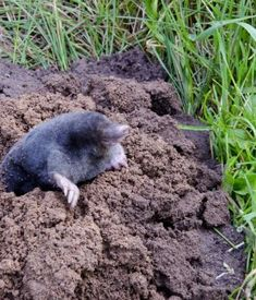 7 effective ways to getting rid of moles in the garden and yard.