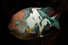 1000 Images About Fish Colors On Pinterest Trout Betta
