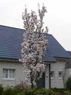 Prunus serrulata 'Amanogawa' / Säulen-Zierkirsche 'Amanogawa'