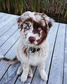 puppies eyes are red - puppies eyes ; puppies eyes are red ; husky puppies with blue eyes ; cute puppies with blue eyes ; puppies with blue eyes ; chocolate lab puppies with blue eyes Cute Funny Animals, Cute Baby Animals, Animals And Pets, Wild Animals, Funny Dogs, Aussie Puppies, Cute Dogs And Puppies, Doggies, Puggle Puppies