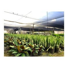 Whole Plant Nursery Supplieaterials Homestead Real Palm Trees Red Congo Snake Sylvestres Palmtree Realpalmtrees