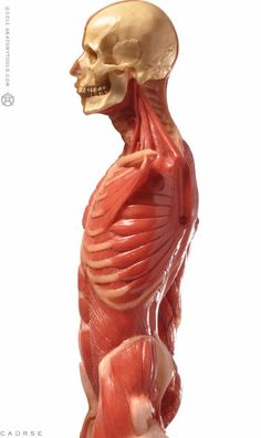 """Male figure: Medical v3A   2012 model. the finest superficial muscle anatomical figure available at a desktop size. Ideal for reference, teaching or study, flayed deeper muscles & partly revealed skeleton. realistic hand painted: bone, muscle, fascia, tendon, veins, removable head & removable arms. External metal stand for extra product support & durability for handling & extreme temperatures. Internal 360° turntable. aprox.23x10x5"""""""