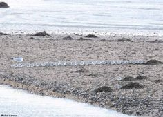 Depuis quelques jours, la France est balayée par de fortes bourrasques de vent. Michel Leroux nous a transmis d'intéressantes photos prises le 8/12 dans la baie du Mont Saint-Michel (Manche/Ille-et-Vilaine) montrant des Bécasseaux sanderlings (Calidris alba) posés alignés dans le sens du vent pour lui offrir une moindre résistante.