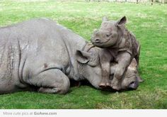 Baby Rhino playing with his tired mom