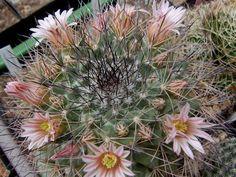 Mammillaria_johnstonii-007.jpg (700×525)