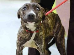 TO BE DESTROYED - 12/24/14 Brooklyn Center -P   My name is RACHEAL. My Animal ID # is A1022492. I am a female br brindle and white am pit bull ter mix. The shelter thinks I am about 1 YEAR  For more information on adopting from the NYC AC&C, or to  find a rescue to assist, please read the following: http://urgentpetsondeathrow.org/must-read/