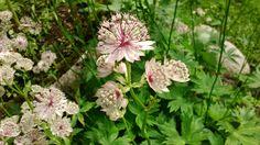 Astrantia Major är en av mina perenner som jag tycker om allt mer :) Den är så tacksam och blommar länge, nästan hela sommaren. Jag har den vanligaste , Ljusrosa med ljusgröna inslag och den tycker…
