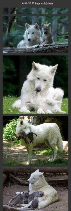 Pin by Eddie Maldonado on WOLVES Pinterest Wolf, Animal and Wolf
