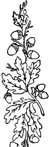 Drawing Of A Small Oak Tree Branch With Leaves And Acorns