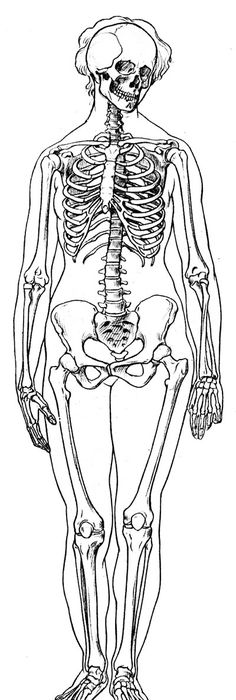 Anatomy Difference Between Male And Female Human Skeleton Male Vs