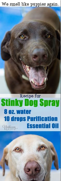 Recipe For Stinky Dog Spray Mix Water With Purification Essential Oils Sold By Young Living