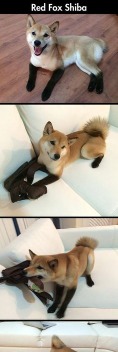 Cute Little Domestic Fox // funny pictures - funny photos - funny images -  funny pics - funny quotes - Red Fox Shiba Inu