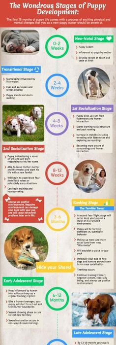 dog pregnancy stages day by day timeline and tests puppy pinterest dog and fur babies