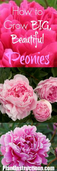 Perfect Peonies Peony Flowers And Gardens