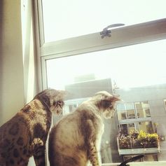 @Enid Hwang's kitties: Udon (white, chubby dude) and Vex (brown, mini-jaguar).