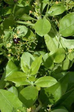 madder red (rubia tinctorum)