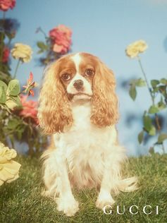 Archer, a Cavalier King Charles Spaniel, is an actor from Thousand Oaks, California who likes to pose by himself. He doesn't like his fur being messed up by other people touching him. Gucci for the Year of the Dog, Chinese New Year 2018.  Photo: Petra Collins Art director: Christopher Simmonds Creative director: Alessandro Michele