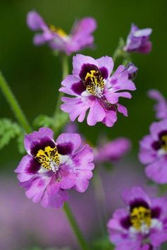 Schizanthus 'Dr Badger' - Butterfly plant