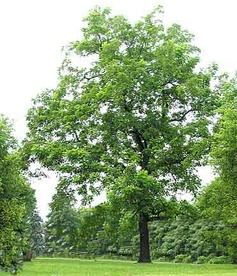 Black Walnut Tree - great information!!  Apparently, Iowa's are the best and I'm lucky enough to have 4 trees!