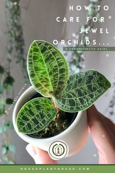 How to care for jewel orchids : Macodes petola + Ludisia discolor