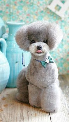 De French Poodle a oso