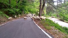 Flock crossing the road to Mount Faito.