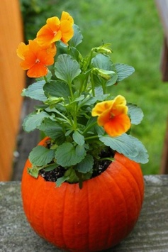 Orange Pansy planted in a small pumpkin decoration for a porch, table, or steps.