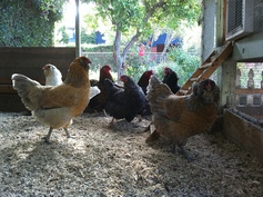 @Kent Brewster's chickens!