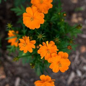 Cosmic Orange Cosmo Orange Plant Cosmos Flowers Beautiful Rose Flowers
