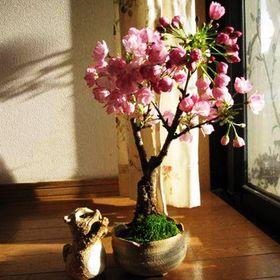 10 Pcs Rare Pink Japanese Sakura Seeds Indoor Cherry Blossom Bonsai Flower Sakura Tree Diy Seeds Of Perennial Garden Flowers In 2021 Bonsai Flower Flower Seeds Japanese Cherry Tree