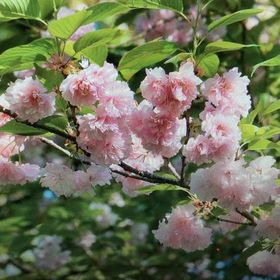 Home Depot Is Selling Gorgeous Cherry Blossom Trees For Just 39 Blossom Trees Cherry Blossom Tree Japanese Tree