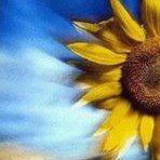 Sonnenblume Mneme