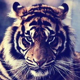crazy_ tiger_13