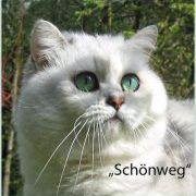 Schoenweg Chinchilla cats