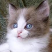 Soft Kitty Ragamuffins