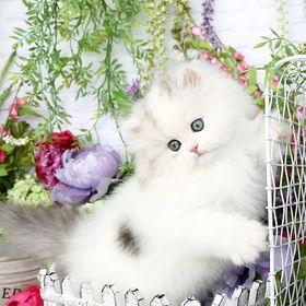 Doll Face Persian Kittens - www.dollfacepersiankittens.com