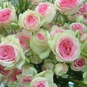 Fiore Arce