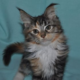 Puris Best Star, CZ - Maine Coon Cattery