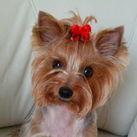 Xena Yorkshire Terrier