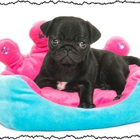Black Pug Lover