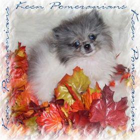 Keen Pomeranians