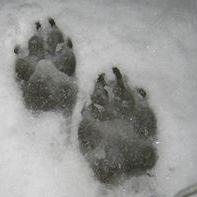 Winter Greyfox