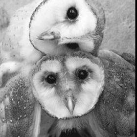 Owl-Purple Sickle