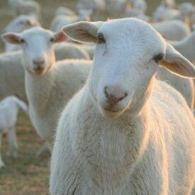 Cornelia sheep