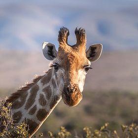 Kačka , která miluje žirafy